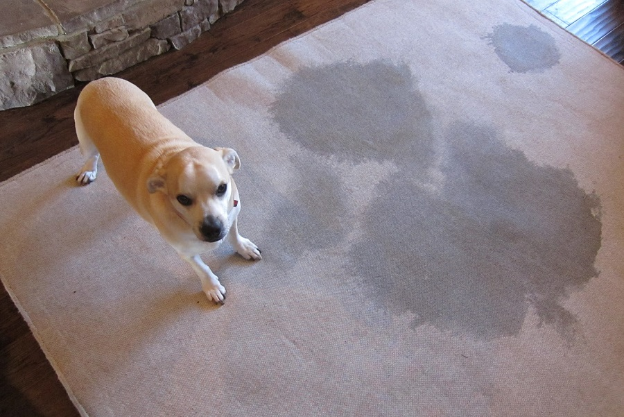 best way to remove dog stains from carpet. Black Bedroom Furniture Sets. Home Design Ideas